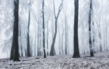 Winter forest in the mountains. Majestic winter treet