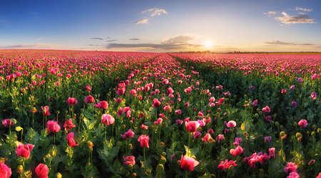 Poppy purple field at sunset Reklamní fotografie - 163480722