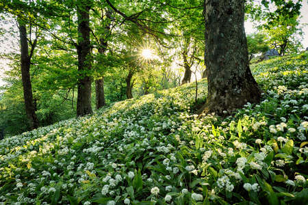 Spring Forrest. Fresh Green Woods in the Forest. Blooming wild garlic. Reklamní fotografie