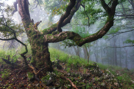 Old magical trees in a foggy scary forest landscape