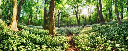 Wild garlic flowers in the forest with sun - Nature landscape