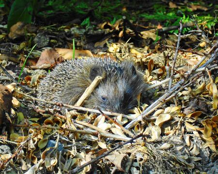 spiny: Young and resting hedgehog in autumn nature