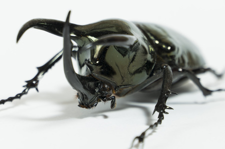 Rhinoceros beetle Chalcosoma caucasus, Rhino beetle,Unicorn beetle, Horn beetle isolated
