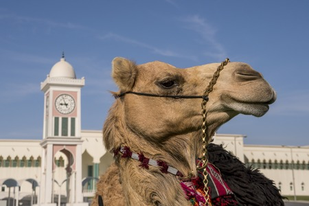 Traditional arabs riding camels close up in front of the Grand Mosque in Doha, Qatar