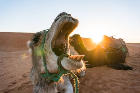 yawing camel with wide opened mouth seems like eating a sunset sun above another one camel in camel tour group at the Erg Chebbi Desert in Morocco