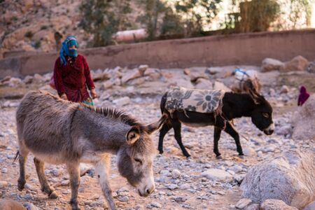 ATLAS MOUNTAINS, MOROCCO - 20 JAN: Nomad tribe people living in mountains near Tinghir or Tinerhir. Woman with her daughters are herding donkeys in canyon near the river. Todra gorge
