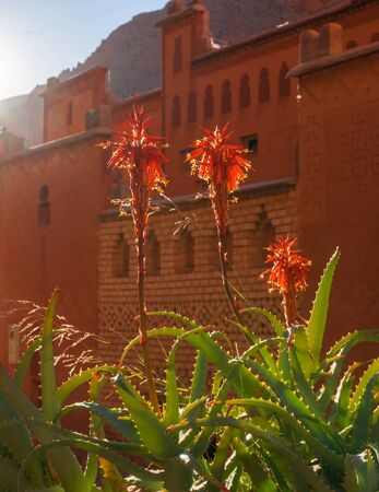 Blooming Aloe Vera Flowers in Morocco mountains in front of old clay kasbah caslte wall Standard-Bild - 131308999