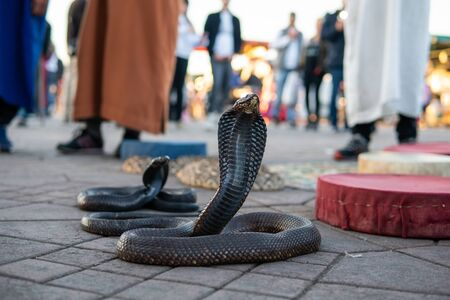 Cobra snakes in the Jamaa el Fna square, the main market place in Marrakesh, Morocco