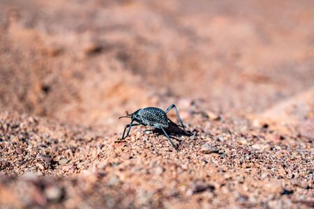 Black desert tenebrio beetle running by the dry stone sand surface