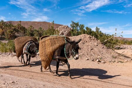Donkeys with traditional berber bags on the back. Ourzazate, Oasis de Fint, Atlas mountains Stok Fotoğraf