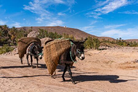 Donkeys with traditional berber bags on the back. Ourzazate, Oasis de Fint, Atlas mountains Stock Photo