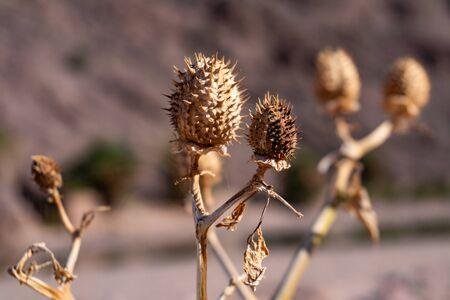 Dry yellow thorn plant in the Sahara desert