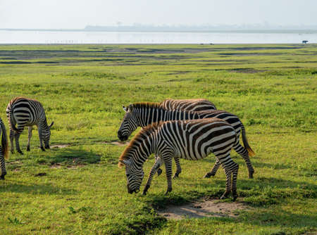Group of Zebras Equus quagga are grazin on the vast grassy plains of the Ngorongoro crater conservation area in Tanzania