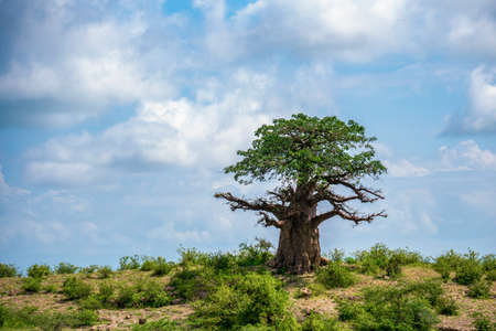 A lonely baobab tree On the top of Slope against cloudy sky background. Arusha Region, Tanzania, Africa