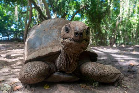 An Aldabra giant tortoise Aldabrachelys gigantea in the forest, at Prison Island, Zanzibar, Tanzania