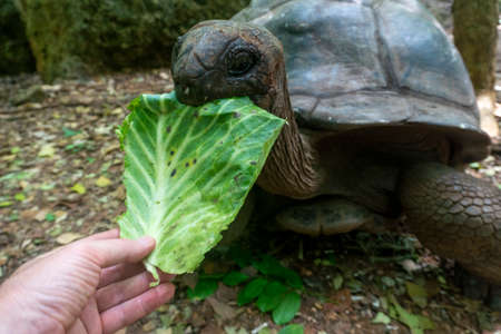 Feeding a Giant Aldabra Tortoise Aldabrachelys gigantea in the forest, at Prison Island, Zanzibar, Tanzania Archivio Fotografico
