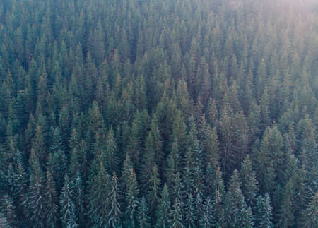Aerial Shot of Fir Trees Forest. Winter forest and road from above 版權商用圖片