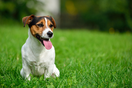 small dog: Jack russell terrier in garden