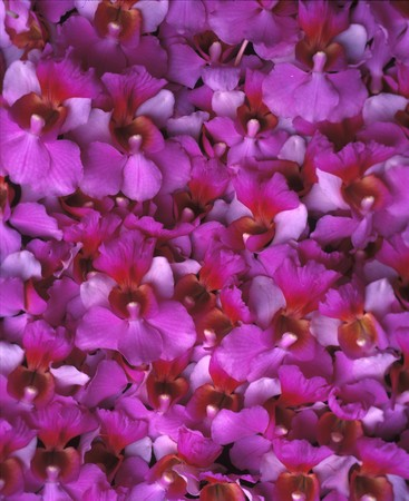 a background of purple Hawaiian Vanda orchids