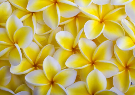 plumeria on a white background: a background of yellow plumeria blossoms from Hawaii