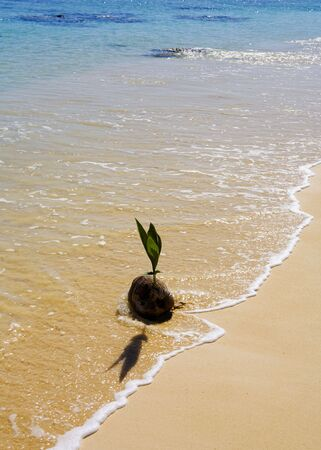 coconut seedlings: sprouting coconut washes up on the shore of a beach in Hawaii  Stock Photo