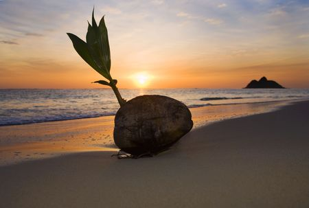 sprouting coconut washes up on the shore of a beach in Hawaii at sunrise photo