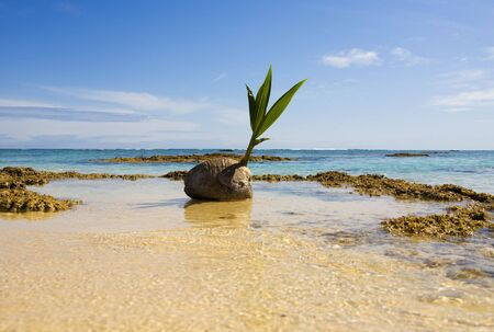 sprouting coconut washes up on a coral reef in the Pacific Stock Photo