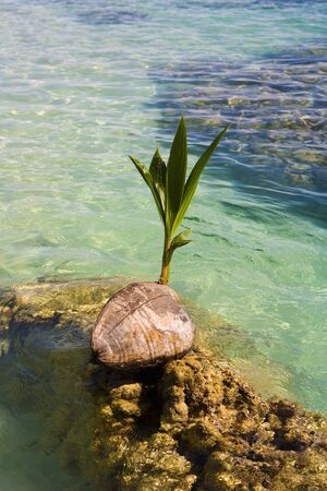 coconut seedlings: sprouting coconut washes up on a coral reef in the Pacific Stock Photo