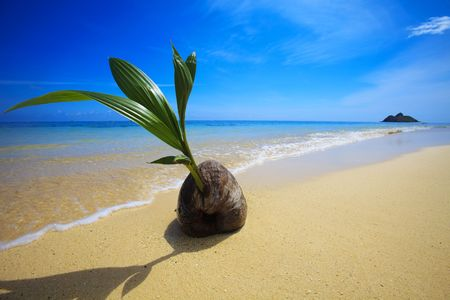 A sprouting coconut washes up on the shore of a tropical beach in Hawaii photo
