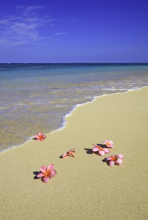 six pink plumeria blossoms lie on the sand