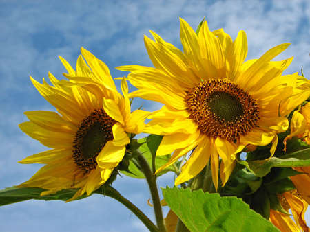 Flowers of the sunflower relating to the sky