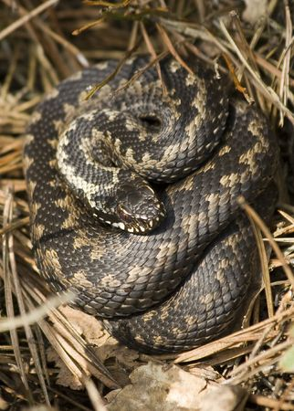 Adder wound into a ball Stock Photo