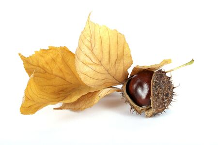 Chestnut with the leaf on the white background