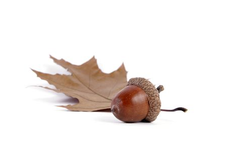 Acorns with an oak leaf on the white background