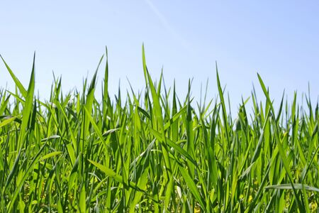 Stalks of green grass (cereal crops) relating to the blue sky