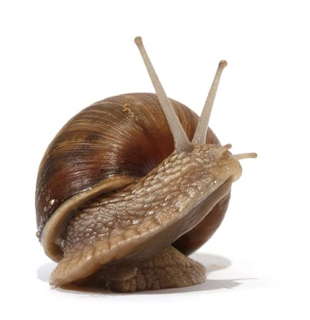 mucus: Edible snail on the white background Stock Photo