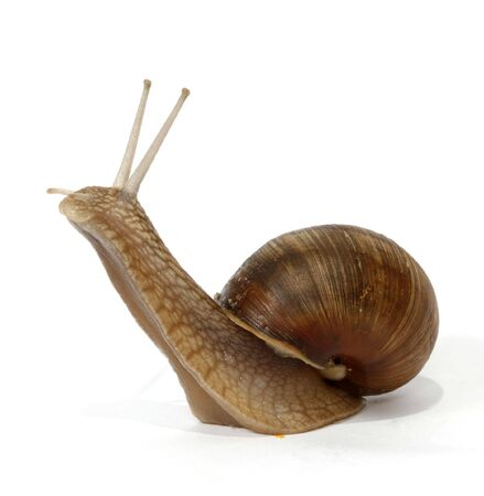 wimp: Edible snail on the white background Stock Photo