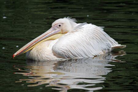 waterbird: Swimming white pelican  Stock Photo