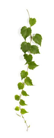 creeper: Twig of a climbing plant