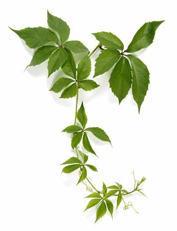 yedra: Ramita de una planta trepadora Foto de archivo