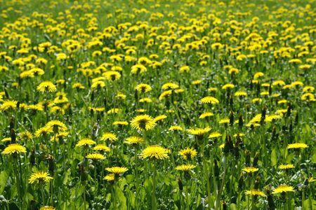 Common dandelions on the meadow