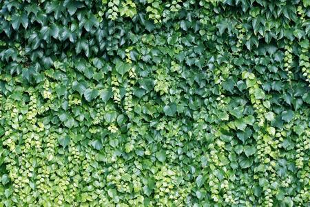 wall ivy: De fondo natural de las plantas trepadoras