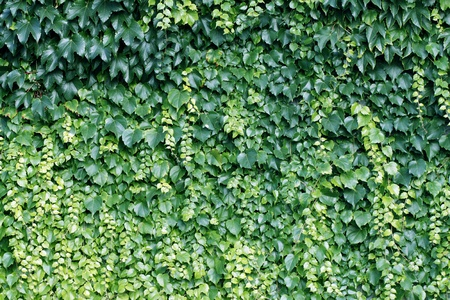 green walls: Natural background from climbing plants