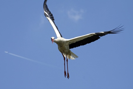 Stork in flight photo