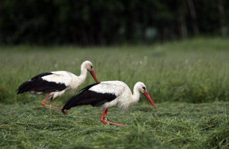 Two storks walking about the meadow  Stock Photo