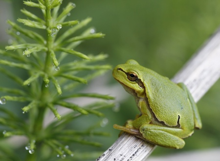 green tree frog: Green tree frog sitting on the twig