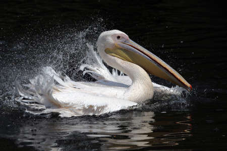 waterbird: White pelican splashing about in the water