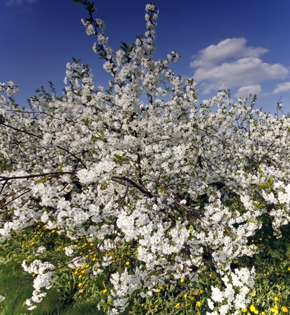 Blooming orchard with spring photo