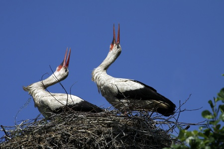 Pair of storks in the nest photo