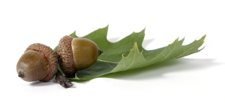 Brown acorns relating to oaken leaves
